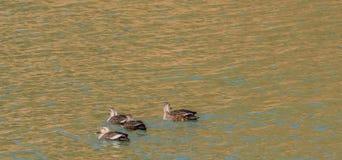 一起游泳四只东部斑点开帐单的鸭子 库存照片