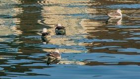 一起游泳四只的海鸥 库存图片