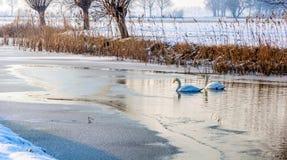 一起游泳在冰之间的水中的两只天鹅 免版税库存图片