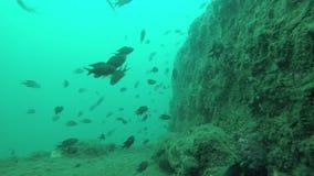 一起游泳珊瑚礁的攫夺者 股票录像