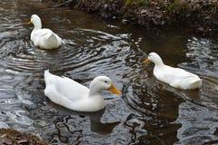 一起游泳的鸭子 库存图片