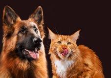一起猫和狗,缅因浣熊小猫,德国牧羊犬看看与伸出舌头的权利 免版税图库摄影