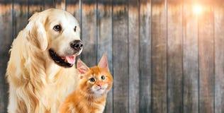 一起猫和狗,缅因浣熊小猫,金毛猎犬看看与伸出舌头的权利 免版税库存图片