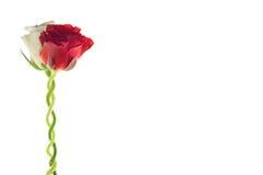 一起玫瑰二 免版税库存照片