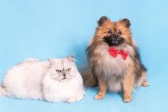 一起白色猫和波美丝毛狗狗 查看照相机 在蓝色背景 库存照片