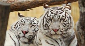一起白色老虎休息 免版税图库摄影