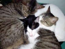 一起睡觉三只的猫 免版税库存图片