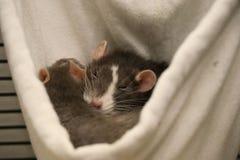 一起睡觉两只宠物的鼠 库存照片