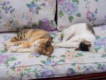 一起睡觉两只的猫 库存图片