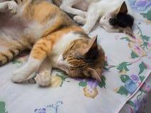 一起睡觉两只的猫 库存照片