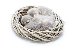 一起睡觉在白色柳条花圈的小新出生的灰色蓬松可爱的小猫在白色照片演播室 免版税库存图片