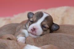 一起睡觉在篮子的奇瓦瓦狗小狗 免版税库存照片