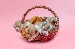 一起睡觉在篮子的奇瓦瓦狗小狗 免版税库存图片