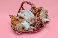一起睡觉在篮子的奇瓦瓦狗小狗 库存图片
