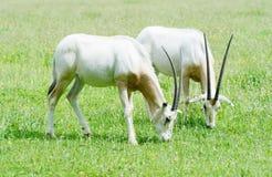 一起短弯刀有角的羚羊属 库存照片