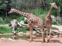 一起突出的长颈鹿 免版税库存图片