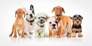 一起站立不同的品种六条逗人喜爱的小狗  库存照片
