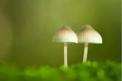 一起站立两个的蘑菇 库存照片
