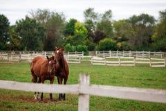 一起站立两匹栗子的马 免版税库存图片