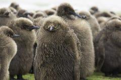 一起站立在托婴所的企鹅国王小鸡在雨中 免版税库存照片
