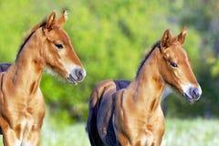 一起站立在春天牧场地的两只模糊的短距离冲刺的马驹 免版税库存图片