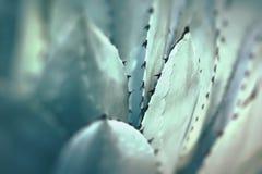 一起被束起的尖锐的龙舌兰植物叶子 免版税库存图片
