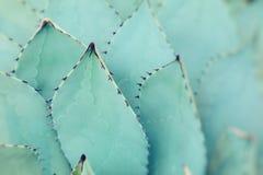 一起被束起的尖锐的龙舌兰植物叶子 免版税库存照片