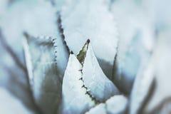 一起被束起的尖锐的龙舌兰植物叶子 图库摄影