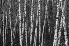 一起被编组的黑白桦树 免版税库存图片