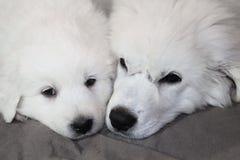 一起说谎两只的小狗的面孔 库存图片