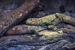 一起说谎在日志的两只蜥蜴 免版税图库摄影