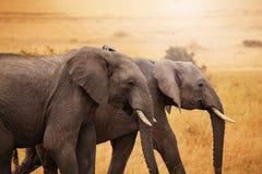 一起走在大草原的对大象 免版税库存图片