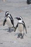 一起走在海滩的企鹅夫妇  免版税库存照片