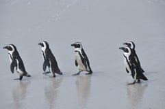 一起走在海滩的企鹅 免版税库存图片