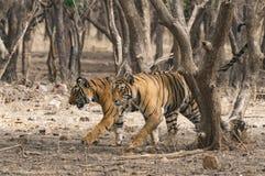 一起走在Ranthambore全国p的两孟加拉老虎 库存图片