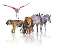 一起走小组非洲徒步旅行队的动物 它在白色背景被隔绝 它反射他们的图象 ? 免版税库存照片