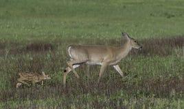 一起走白尾鹿的母鹿和的小鹿 免版税库存照片