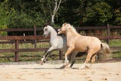 一起跑两匹华美的公马 库存图片