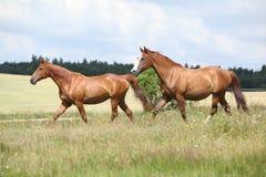 一起跑两匹栗子的马 免版税库存图片