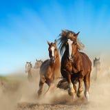 一起跑两匹野生栗子的马 免版税库存照片