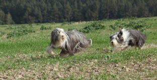 一起跑两只令人惊讶的有胡子的大牧羊犬 免版税库存图片
