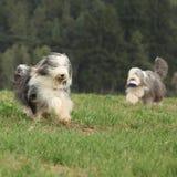一起跑两只令人惊讶的有胡子的大牧羊犬 库存图片