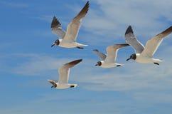 一起飞行在天空的四只笑的鸥 免版税库存图片