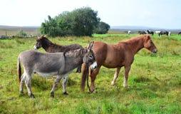 一起马和驴在一个草甸在爱尔兰 图库摄影