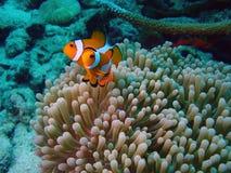 一起Clownefish 图库摄影
