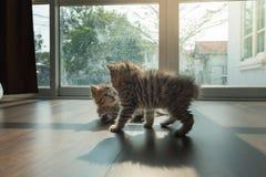一起palying的小猫 免版税库存照片