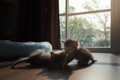 一起palying的小猫 图库摄影