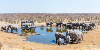 一辣木科waterhole的全景与非洲大象大家庭的  库存图片