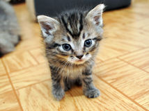 一逗人喜爱小小猫看 免版税库存图片