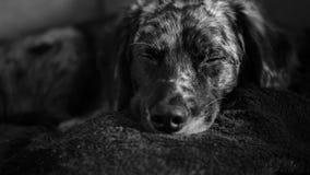 一逗人喜爱狗睡觉 免版税库存图片